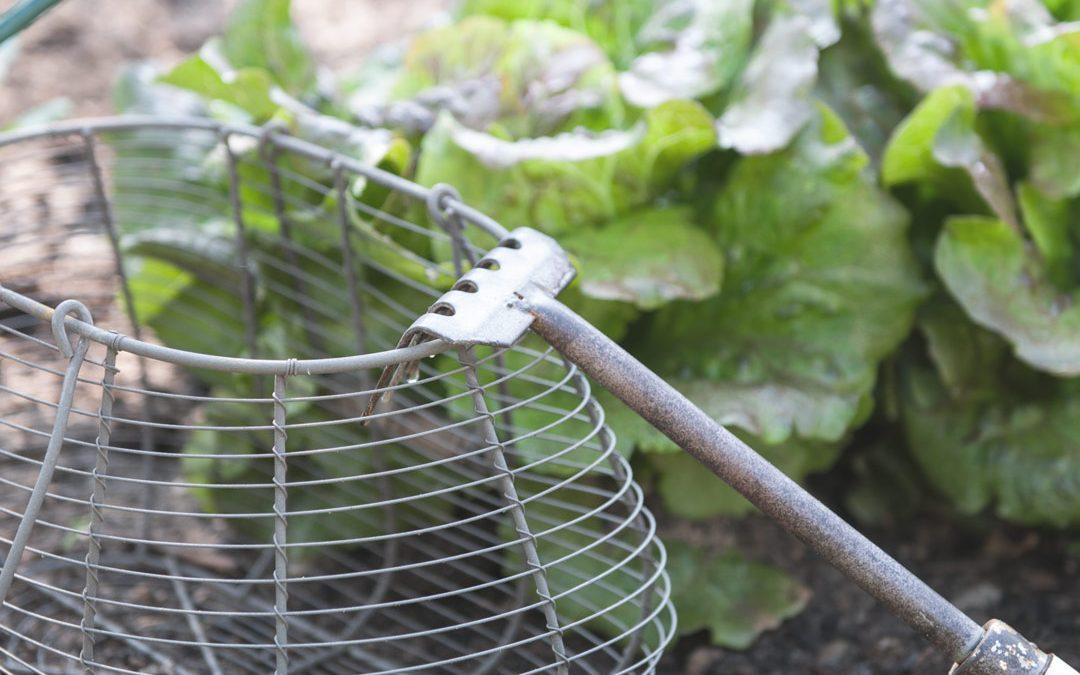 Von Gemüse & Rosen – Gemüse im Garten