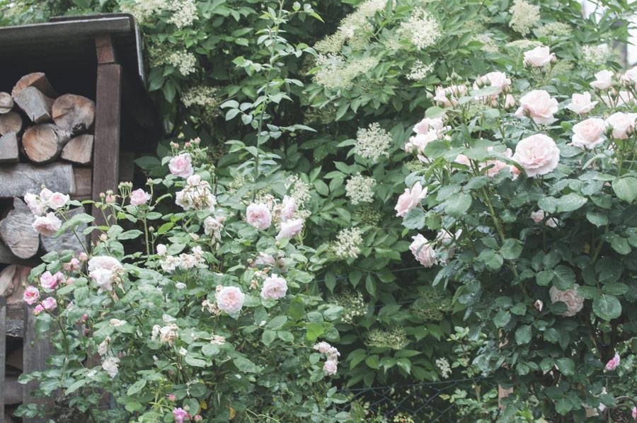 Garten gestalten mit Rosen
