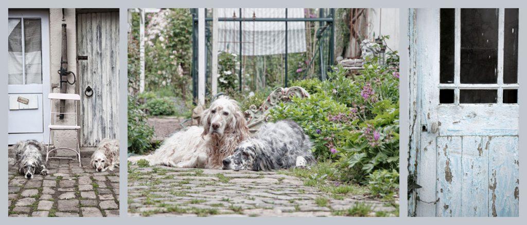 English Setter im Garten