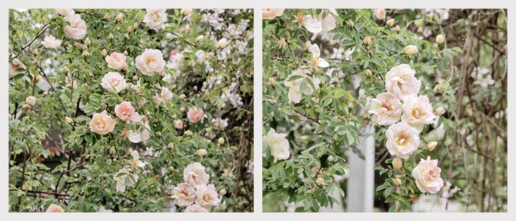Rose Frühlingsduft von Kordes