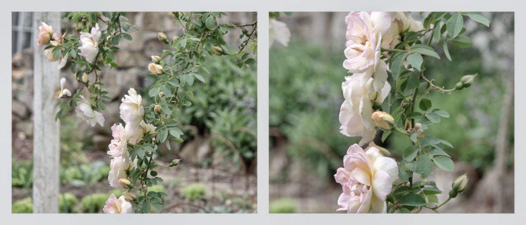 Rose Frühlingsduft - ein Rosenportrait auf Fundi's Gartenblog