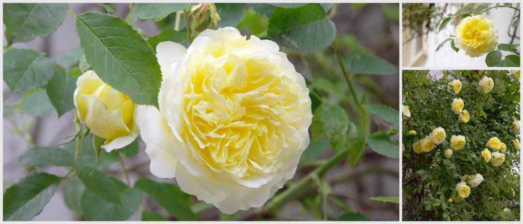 Davis Austin Rose Pilgrim