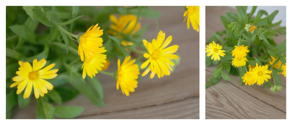 Ringelblume für Ringelblumensalbe