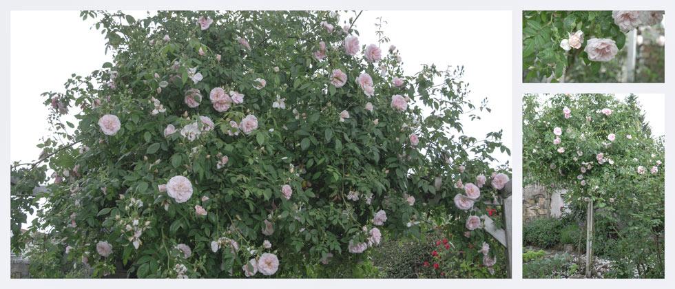 Rosen und ein Gartenblog