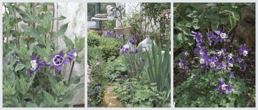 Akeleien im Garten