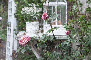 Malerrose Gartenblog