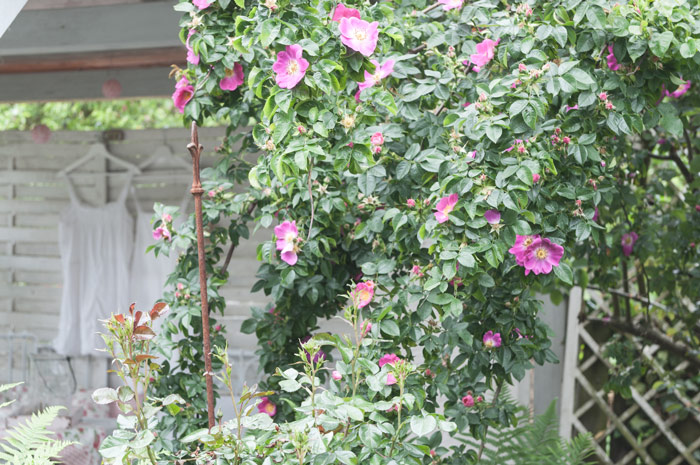 Gartenräume mit Rosen gestalten