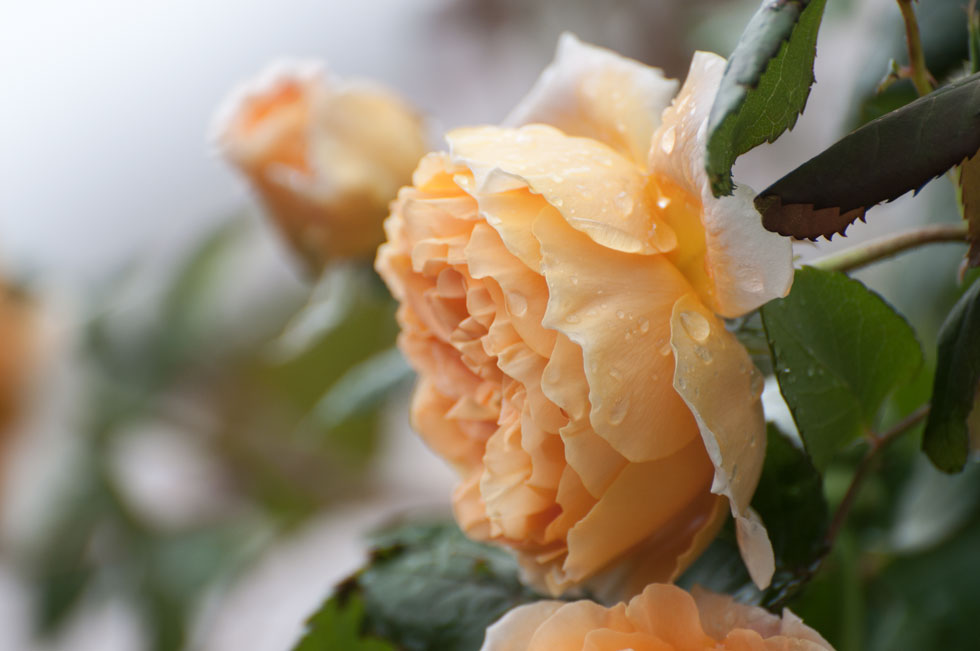 Crown Princess Margareta Rose Rosengelee