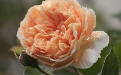 Crown Princess Margareta – eine Hoheit in meinem Garten