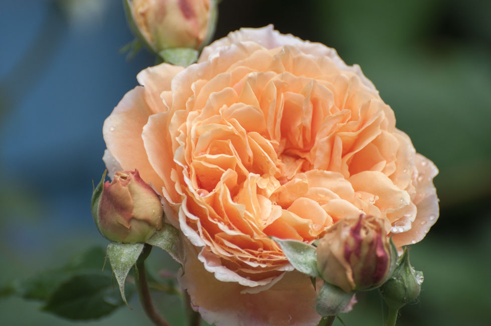 Crown Princess Margareta Duftrose