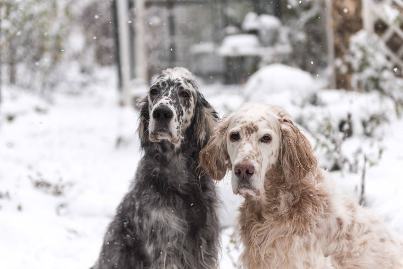 Setter im Winter
