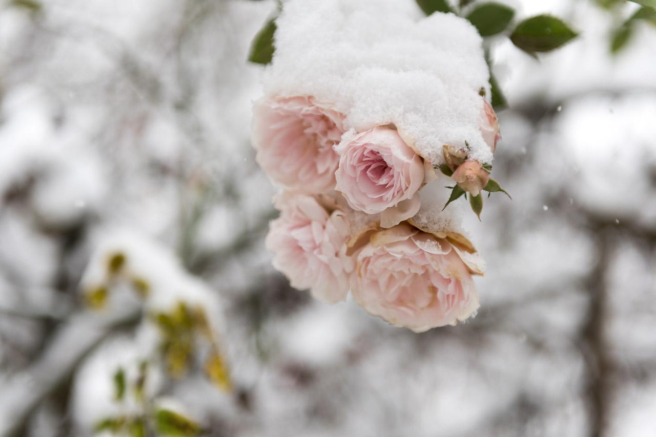 Rosen im Winter bei Schnee